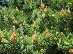 view of pine cones on stems branches filling up wallpaper 1600 x 1200 pixels