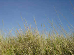 beach grass against the sky waving fronds of grass seed wallpaper 1280 x 960 pixels