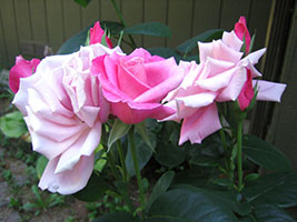 charming three colors of pink pale and deep roses and buds arrangement another view