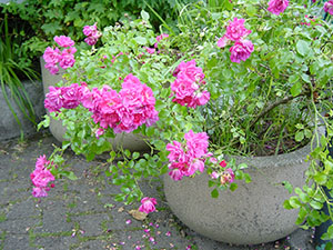stone pot full of pink wild roses blooming in a bunch at Portland Oregon Zoo background wallpaper 1280 x 960 pixels