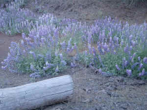 blue purple white lupine bunches wildflowers and a log growing California wild wallpaper 1280 x 960 pixels