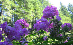wallpaper phlox against fir tree forest and sky