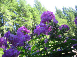 pink and white primrose color phlox against blue sky with tall majestic fir trees