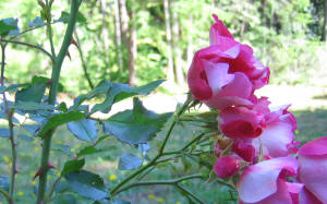 wild rose flowers in focus stems thorns prickly briars
