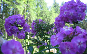 groups of purple phlox against forest wallpaper 1440 x 900