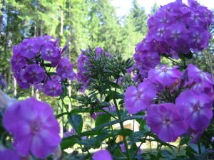 dramatic close up of phlox with fir trees behind them
