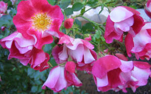 hanging shy glowing pink and white roses flowers