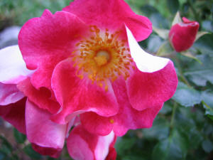 simple close up portrait of single wild rose pink and yellow