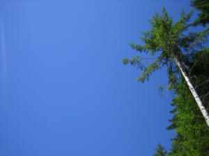 one very tall fir tree against huge deep blue background wallpaper 1600 x 1200 pixels
