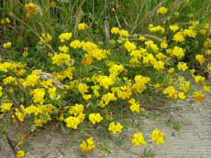 cute clumps of yellow wildflowers background wallpaper 1280 x 960 pixels